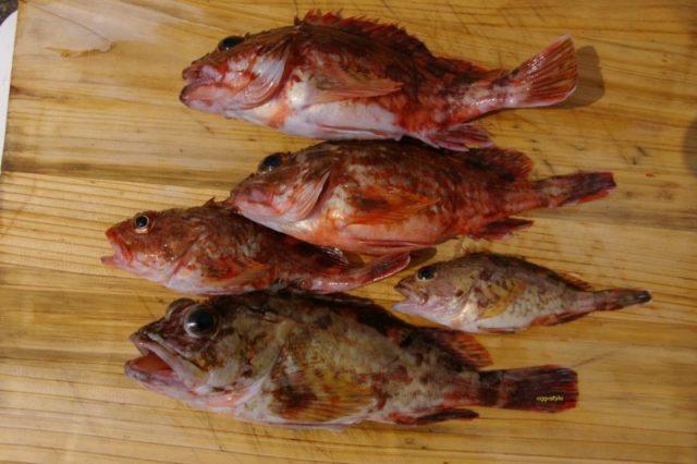ガシラ釣り 大小の釣果