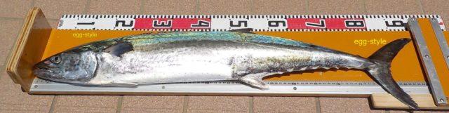 サワラの釣果90cm