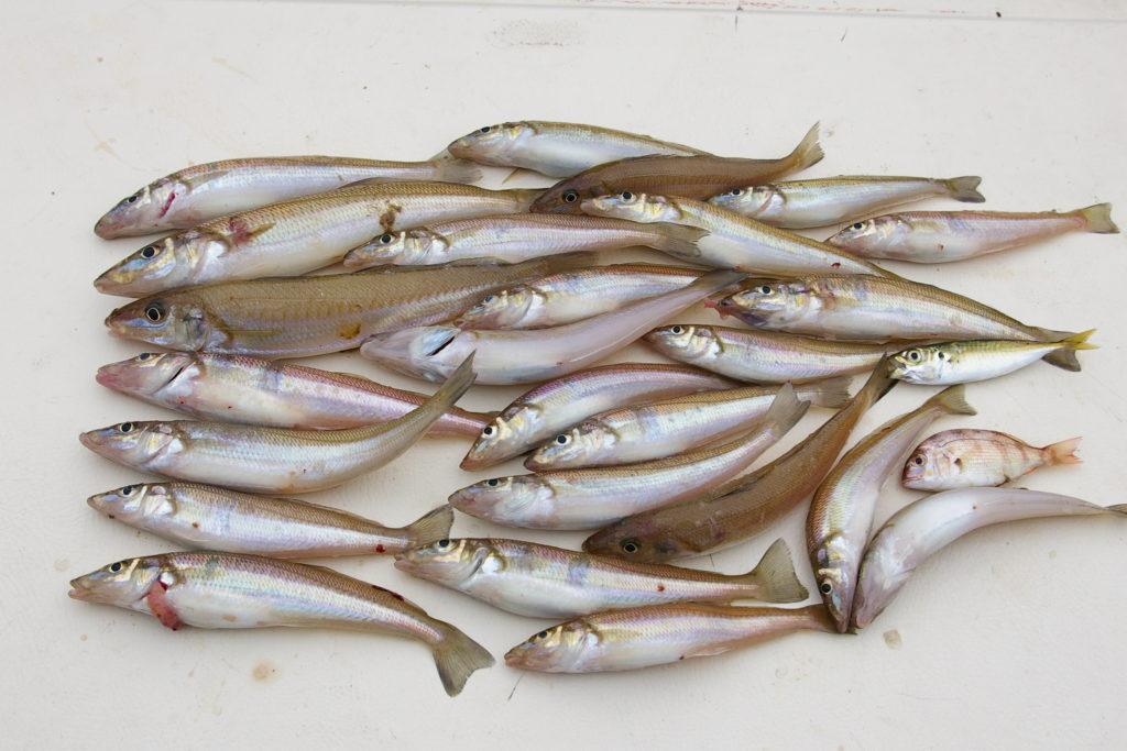 キスがたくさん釣れた。