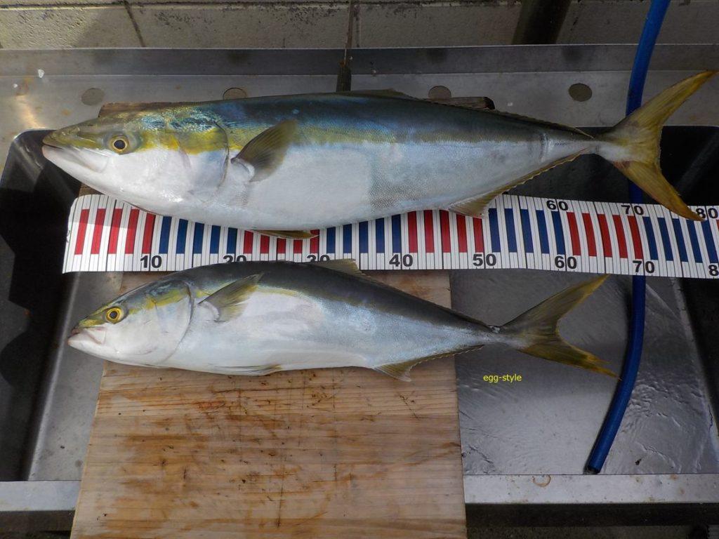 ブリ82cm、小ブリでもうれしい釣果