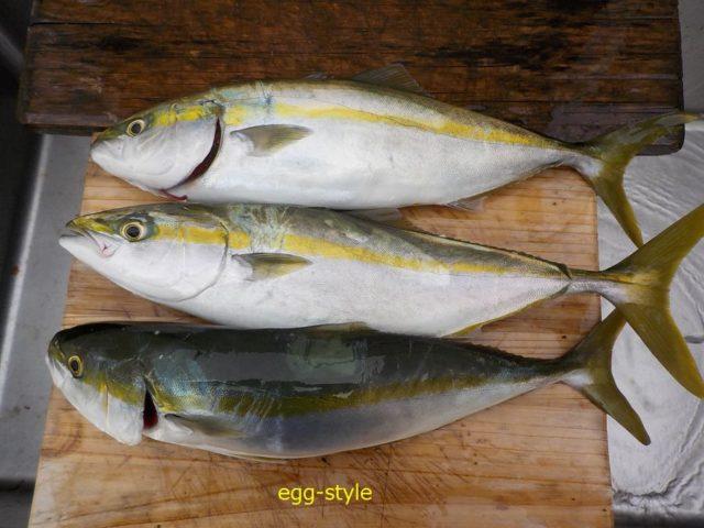 ハマチの太った3匹の釣果