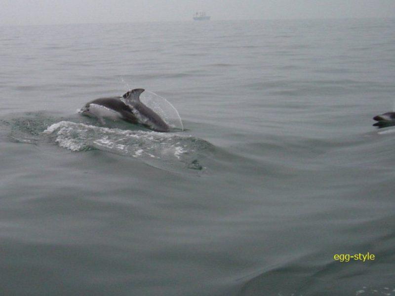 イルカ発見 明石沖に群れ