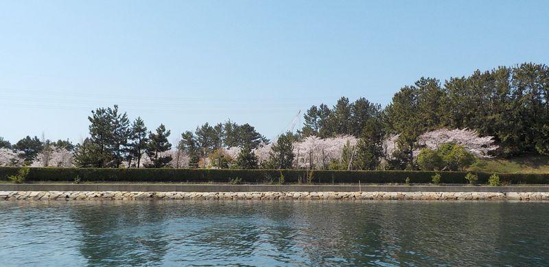 西二見ボートパーク対岸の桜