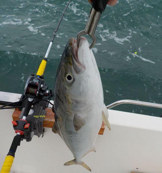 のませ釣りでメジロを釣る。