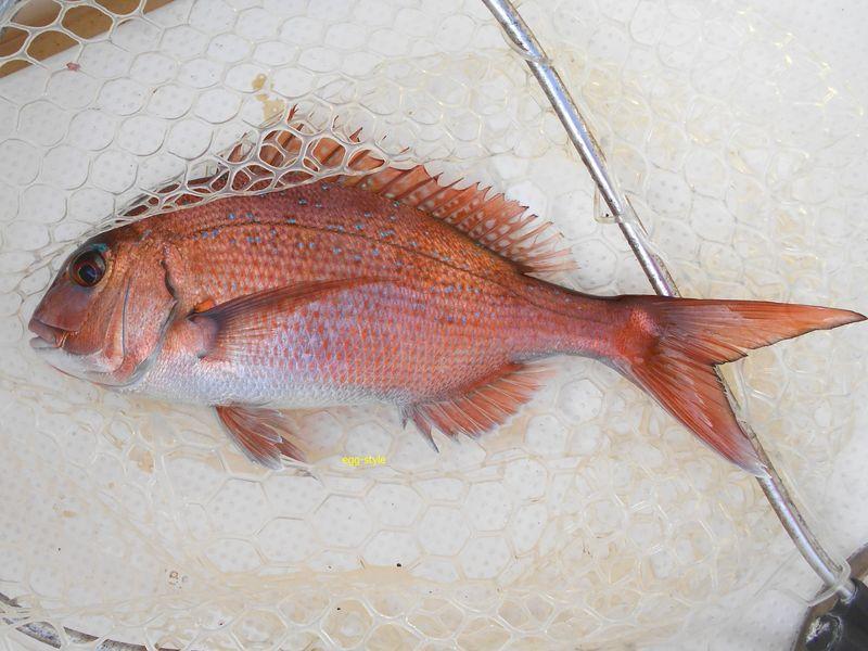 小鯛釣り アベレージサイズにもう少し型物も楽しい男鹿島