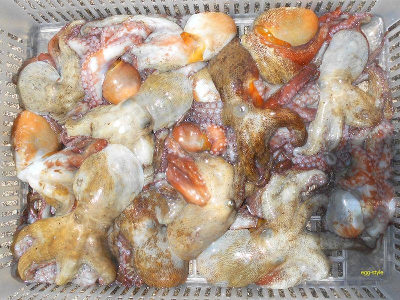 タコ釣り本日の釣果 サイズに不満が残るが…