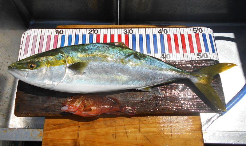 ハマチは体高もあり良いサイズが今年は釣れます。今日はこれだけ