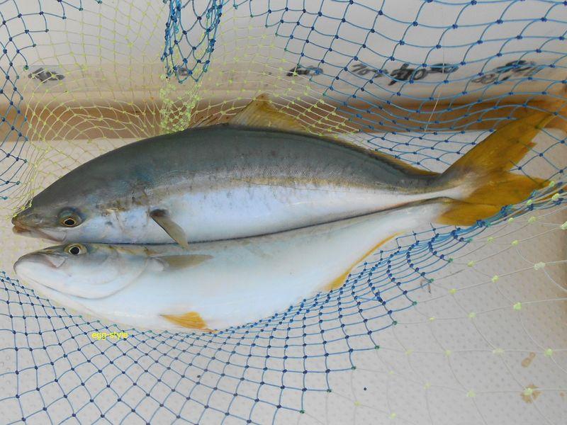 ダブルで釣れることもあり、活性が高い日です