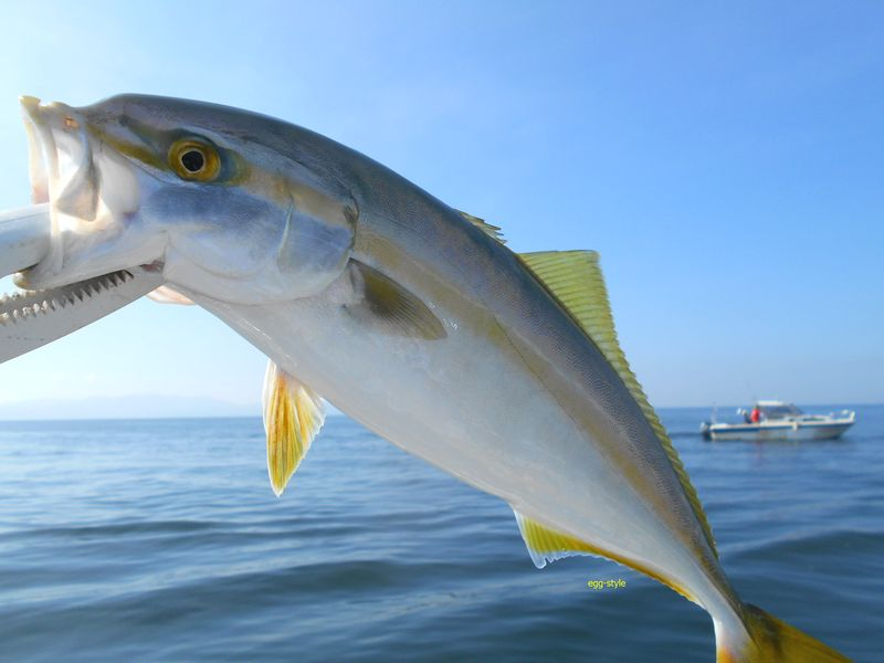 ツバスはきれいで精悍な若魚