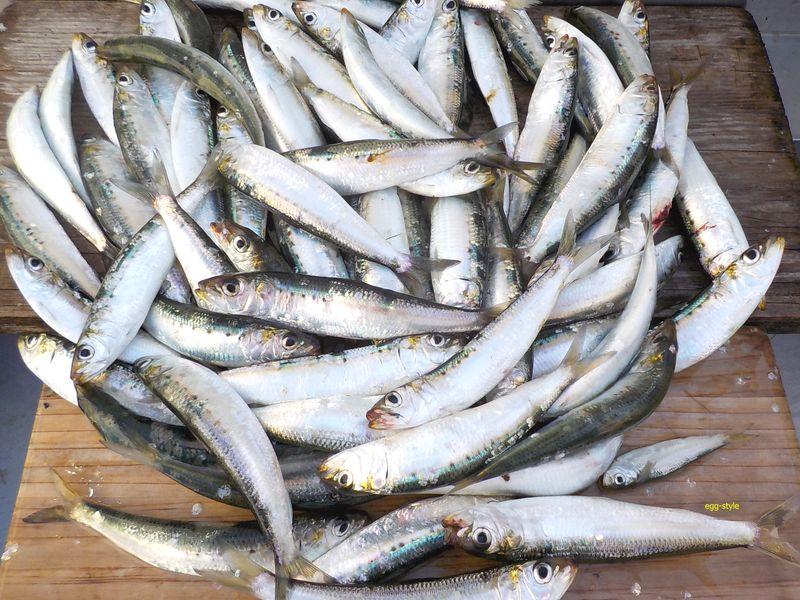 イワシがこんな風に釣れるのも良い潮で、ベイトは釣りの源です
