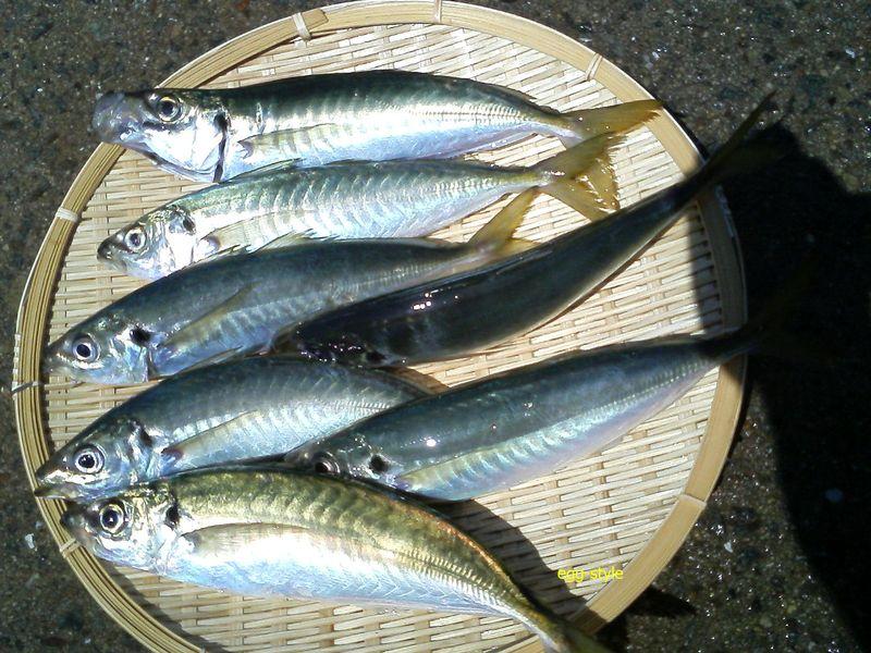 マルアジ釣りは、釣って楽しく食べておいしい