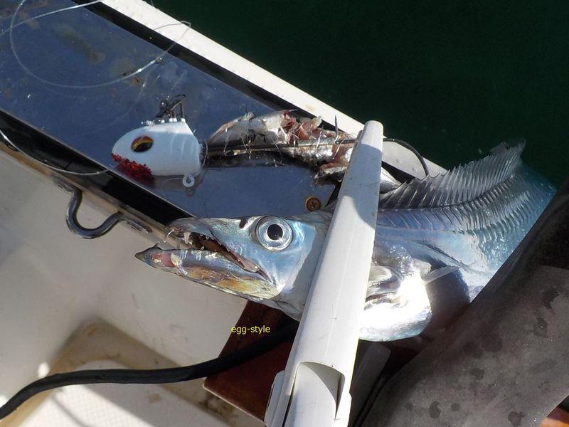 タチウオのテンヤ釣りは、化かし合いのタチウオゲーム