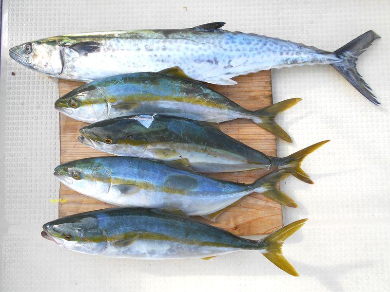 サワラとハマチの釣果、何とか形は整ったが、メジロがいない