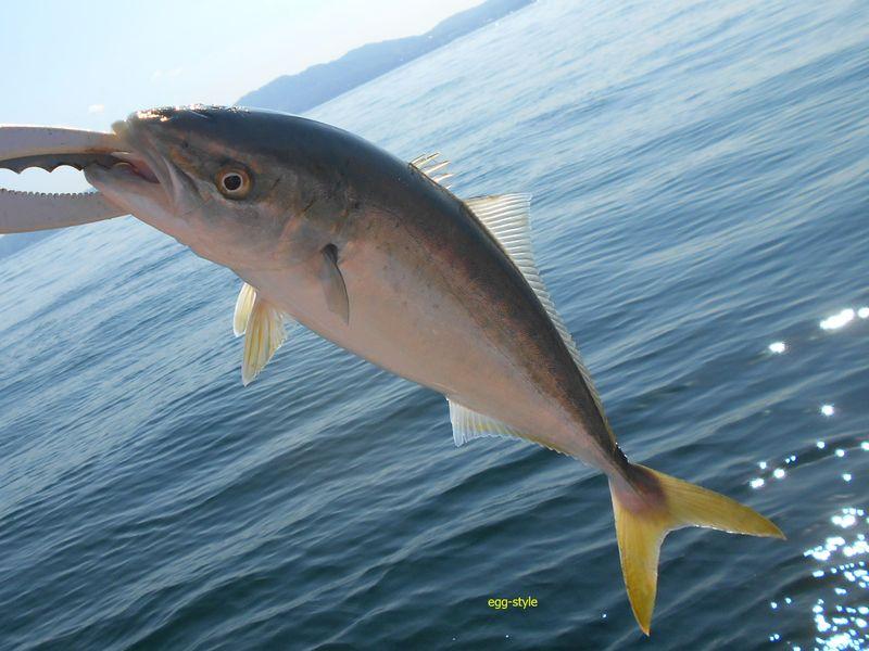 ハマチをやっと富島沖で捕まえた