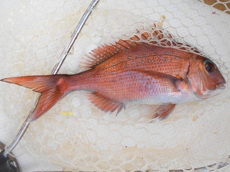 鯛 やはりきれいだ。正月用に釣りたい魚
