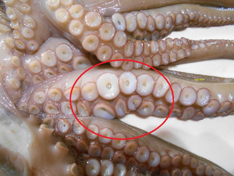 上が雌、吸盤が同じように並ぶ 下が雄、見せつけるゴツイ吸盤がある