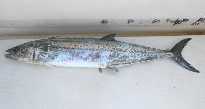 本サワラ 80cmに近い型物でうれしい獲物だ