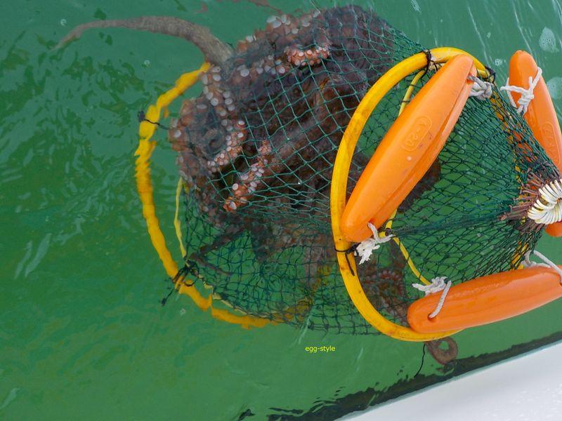 タコがスカリに増えていくと、眺めるだけで楽しい釣りだ