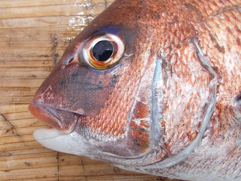 鯛は、しっかりとした顔立ちで風格がある