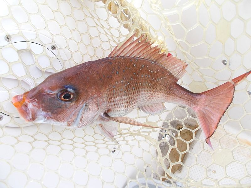釣りたての乗っ込み期のオスの体色は、かなり濃い色になってきている
