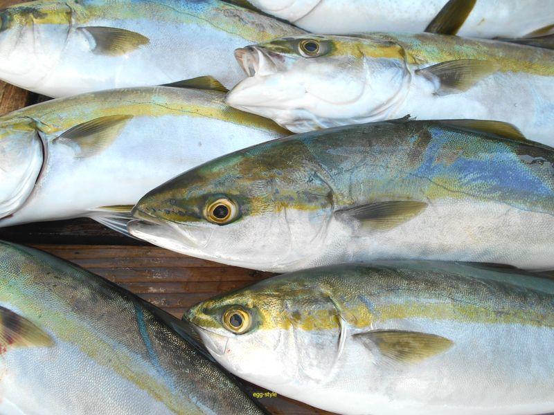 青物は様々な釣り方で好対象魚 その引き味は楽しい