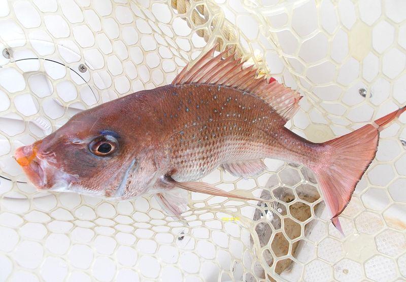 マダイ釣りは、この趣きが好きで家島諸島の不幸明媚と併せて楽しい