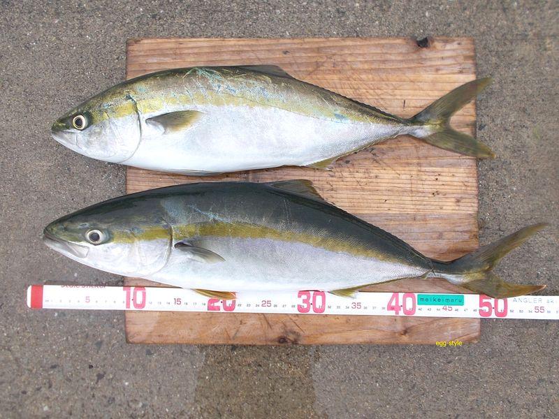 シラスを食べてよく太り、引きはパワフルで楽しい釣り