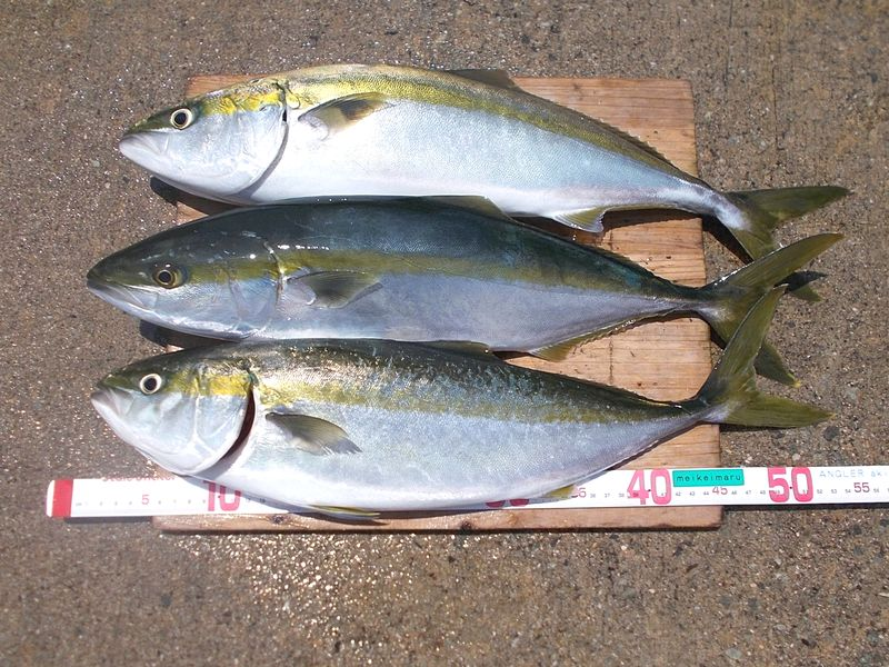 朝の潮で3本、満足する狙った釣果はうれしい 良く太っている