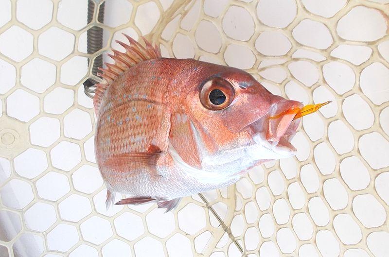 小鯛でもうれしい アジとは違う引きが小鯛にもある