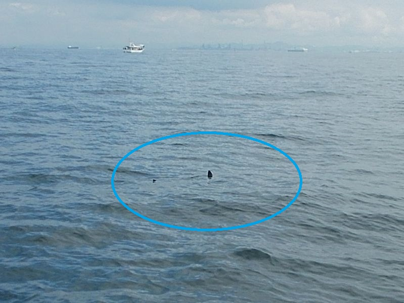 タコ釣りの最中に見たサメの背びれと尾ひれ。1m以上の魚体も見えゆっくりと泳いでいた