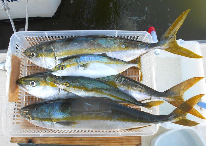 ハマチにツバスの兄弟たち 落とし込み釣りで群れが回る