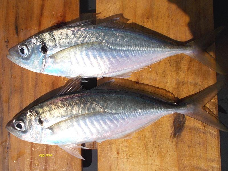 播磨灘で釣れるのを待っていた尺アジ。第2背びれの先が白い マルアジにしては体高がありメクリか?
