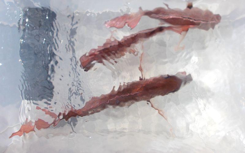コンテナ水槽で泳がすときれい。浮袋の空気抜きをすると元気になる