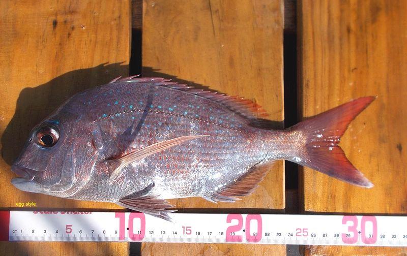尺サイズのマダイ。尺は、マダイとは言わないと大物釣り師に言われそう