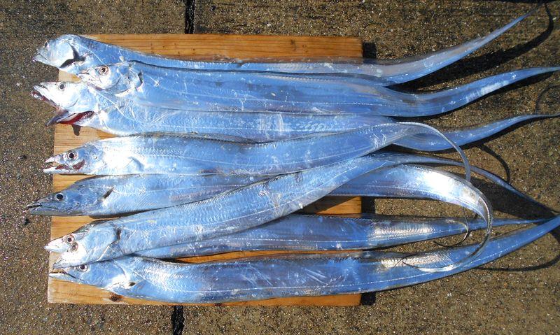 昨年のタチウオ釣果 このサイズF3-3.5ですが、おいしく食べれます