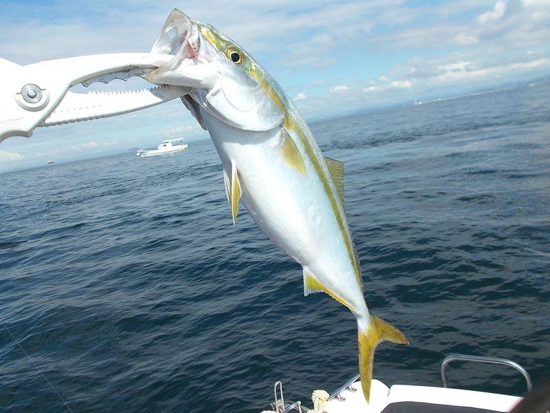 落とし込み釣りの1匹目、このサイズが元気よく喰って来るとかなり面白い