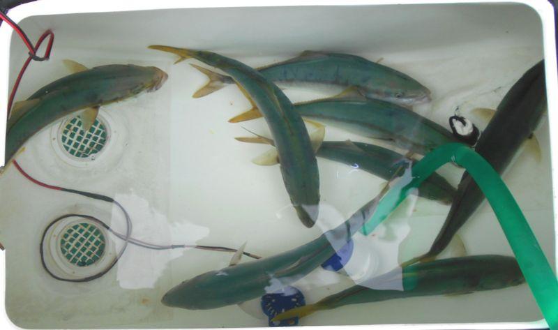 ツバスサイズは、水族館になるが、ポンプで海水循環させていないと酸素不足になる