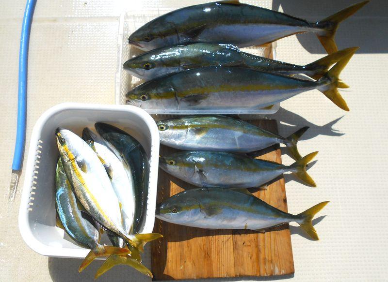 メジロにハマチ 釣り過ぎを反省しながら全部食べてしまった