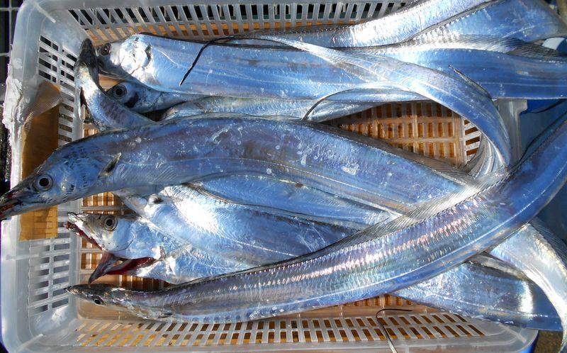 細身であっても、タチウオ釣りは、その駆け引きが面白い